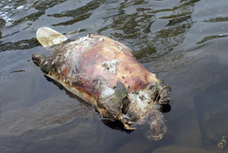 decomposing: The body of a dead beaver floats on top of the water.