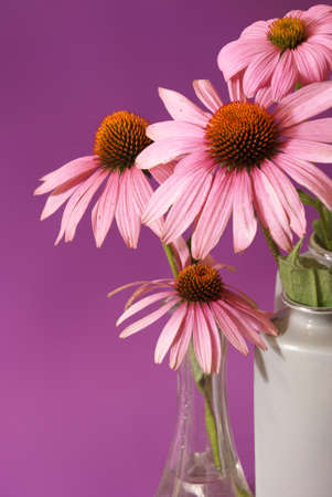 herbology: A beautiful Echinacea image while in full bloom before being processed for futhur use in herbal medicines and teas.