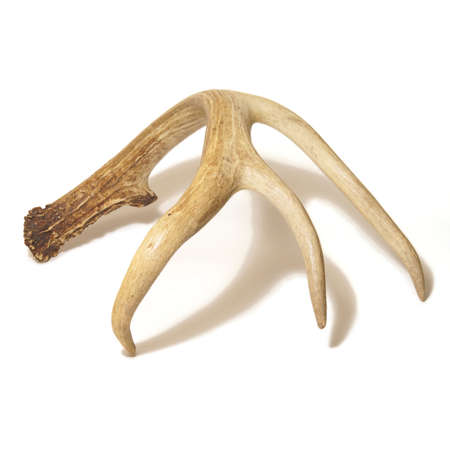 huge antlers: One side of a white dailed buck antler isolated over a white base background.