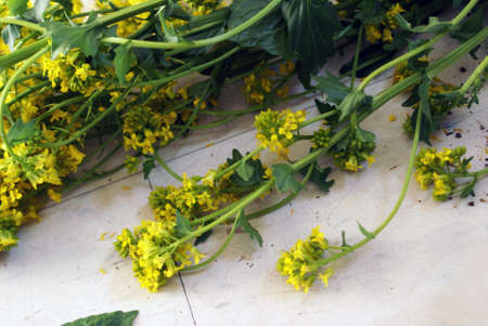 A closeup of some freshly picked Yellow Rocketcress, Barbarea Vulgaris, belonging to the mustard family of herbs.
