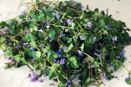 field mint: Closeup view of a freshly cultivated pile of Creeping Charlie before being dried for use in herbal medicines and extracts.