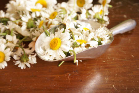 chamomile flower: Closeup view of a scoop measuring fresh chamomile for further herbal processing.