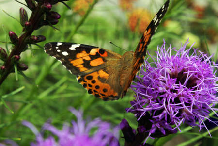 wingspan: A lovely view of this Butterfly seeking precious nectar inside these flowers. Stock Photo