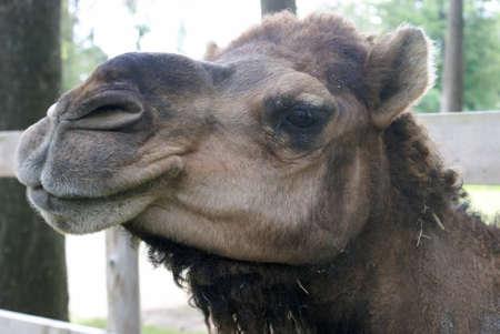 Una vista di primo piano del volto di un sano cammello. Archivio Fotografico - 82776263
