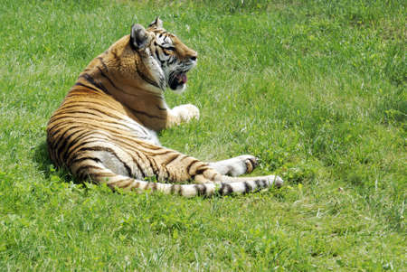 A lovely full body view of this Tiger resting on the grass in the daytime sunshine.