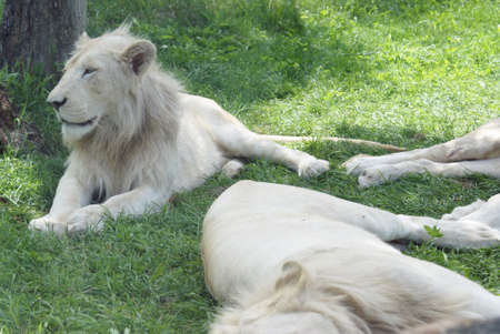 Resting White Lions take to some cooler shade areas during the heat of the daytime hours.