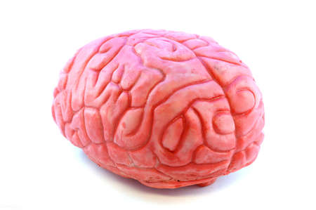 Closeup view of a fake prop brain isolated on white.