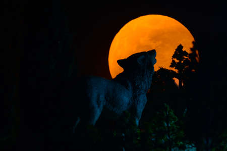 A full moon rising with a wolf howling on top of the horizon giving a focus on his silouetted head.