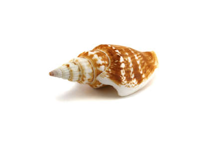 plunging: Marine cockleshell on a white background