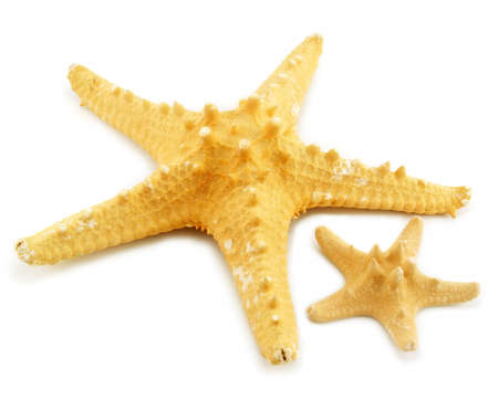 echinoderm: Two starfishes (small and big) isolated