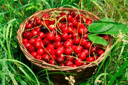 bing: Bing Cherries in Basket on the Green Grass