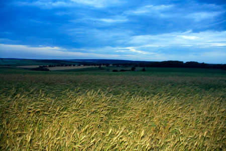 Ripe Wheat Against Stormy Blue Sky photo