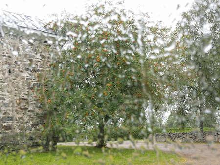 mountain ash: Mountain ash through the wet glass Stock Photo