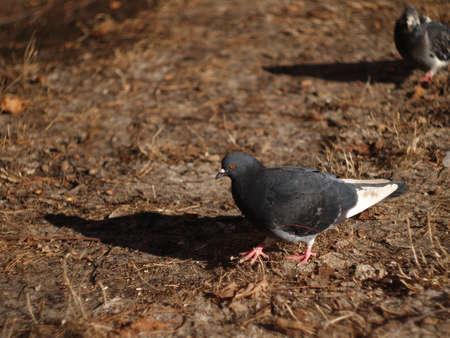 city pigeons bask in the sun in dry grass Foto de archivo