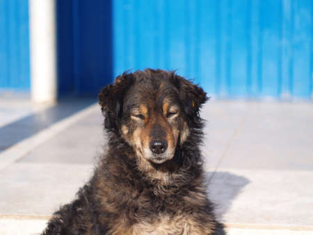A homeless shaggy dog with narrowed eyes stands at the entrance to the store, a summer sunny day, good weather, noon Foto de archivo