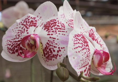 anthesis: Violet white orchid Stock Photo
