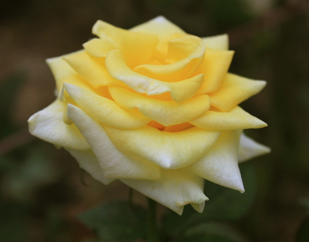 anthesis: Yellow white rose in Malaysia