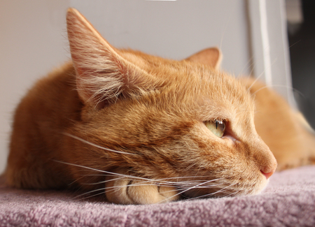 cordiality: The red cat almost asleep