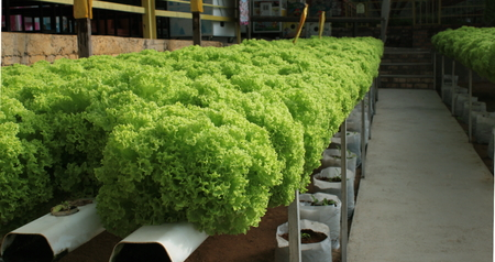 malaysia culture: Green salad or lettuce plantations with hydroponic culture, Malaysia.