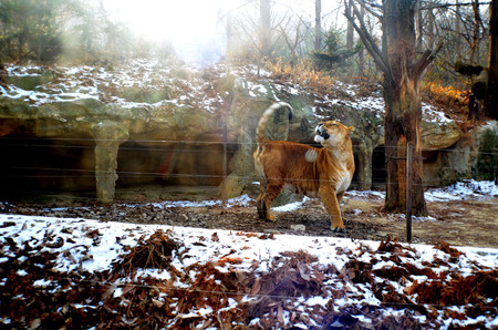 hybridization: The roar of The Liger