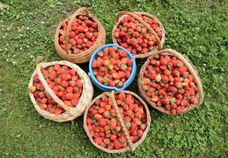 strawberies: Strawberries in the basket Stock Photo