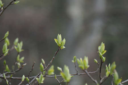 young leaf: young leaf buds