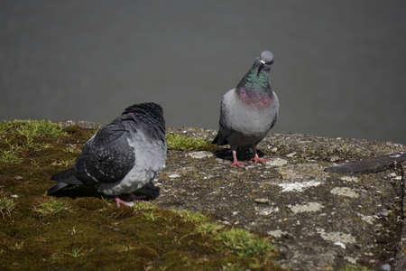 beak doves: Doves