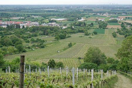 biological vineyard: Vineyard Stock Photo