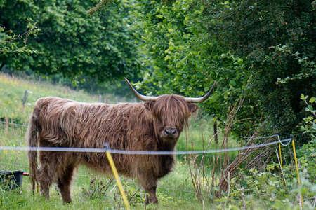 dun: Highland Cattle Stock Photo