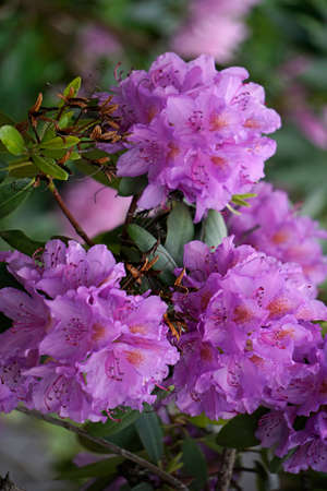 odour: rhododendron