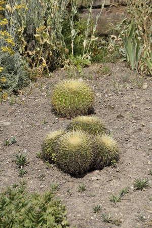 arduous: Cactus Family Stock Photo