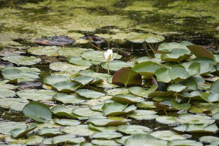 plants species: Nymphaea