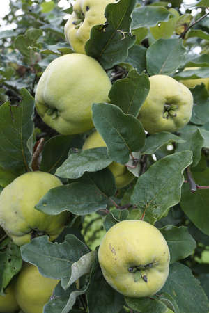 quince: Quince on a tree