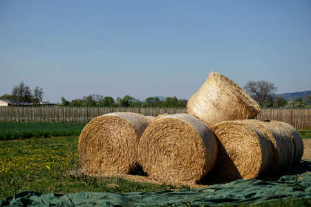 herbage: hayballs on a field