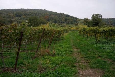 biological vineyard: Vineyard in autumn