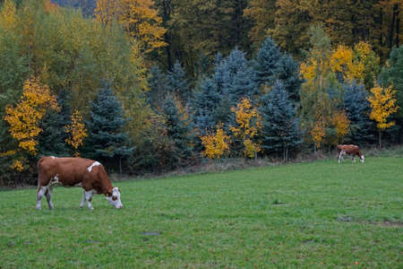 momentariness: Cows on a meadow in autumn