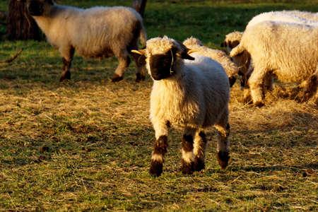 valais: Valais blacknose sheep
