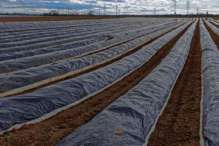 is covered: covered asparagus field