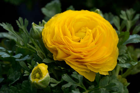 odour: rose in yellow