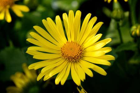 oxeye: oxeye daisy flower in yellow