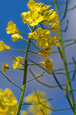 canola plant: canola plant closeup Stock Photo