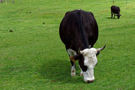 mount price: cow on a meadow