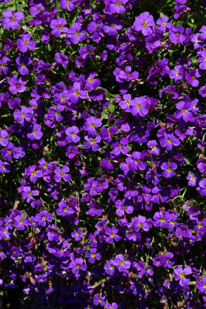 forget me not: forget me not flower purple Stock Photo