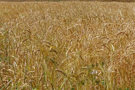 wheatfield: wheatfield in summer Stock Photo