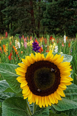 summerhouse: sunflower and gladiola on a field Stock Photo
