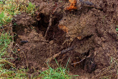 uprooted tree after a windstorm, close up Stock Photo