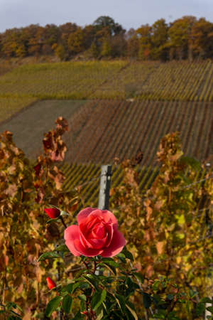 Rose in a vineyard in autumn Stock fotó