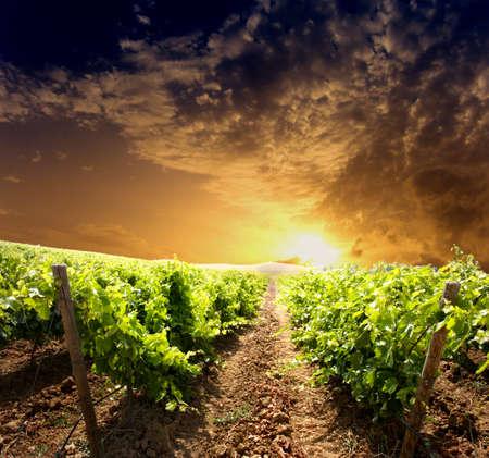 Dramatic vineyard on cloudy sunset photo