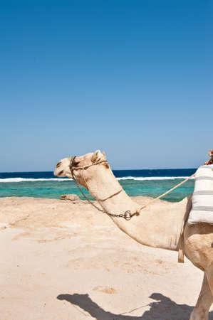 marsa: Came in Marsa Alam on beach (Egypt excursion) Stock Photo