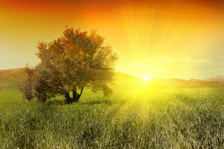 olive  green: Olive tree in a green field during sunrise Stock Photo